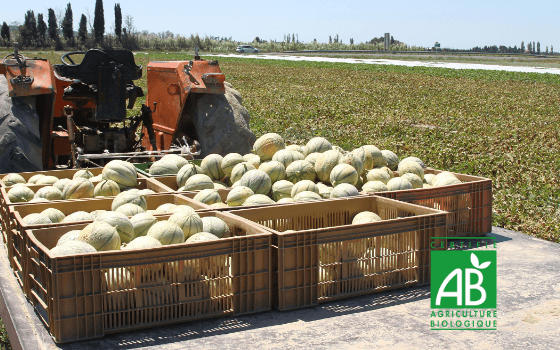melon fields organic cultivation